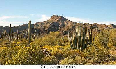 organ pipe cactus and ajo mnts in arizona, usa