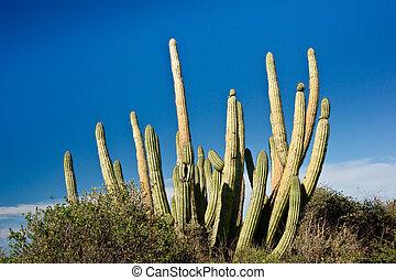 Organ Pipe Cactus in Mexico