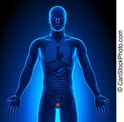 organe, medizin, -, imaging, mann, prostata