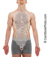 organen, -, illustratie, anatomie, intern, mannelijke , ...