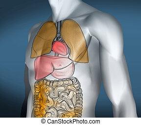 organes, coloré, numérique, visible, transparent, corps