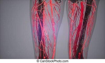 organes internes, coloré, humain, balayage