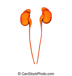 organes, isoler, interne, -, reins