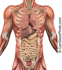 organes, muscles, torse, mâle