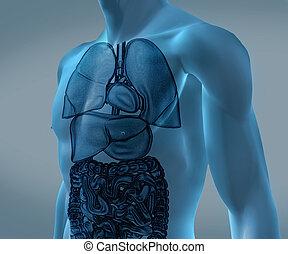 organes, numérique, bleu, transparent, corps