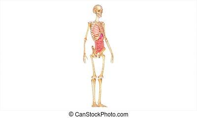organes, squelette