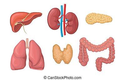 organes, vecteur, set., humain, réaliste, corps, anatomie