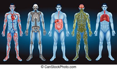 organi interni