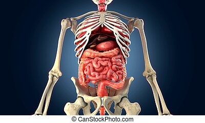 organi interni, scheletro