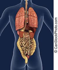 organi interni, vista posteriore