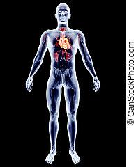 organi, interno, -, cuore