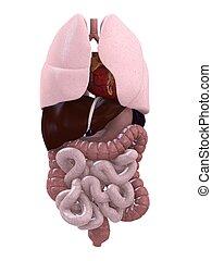 organi, umano