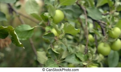 Organic apple tree. Heavily laden with unripe. green fruit. Growing in a private orchard.
