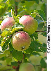 Organic apple tree with fruit at the orchard in Austria, ...