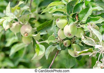 organic apples growing on a tree