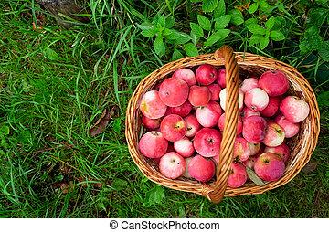 Organic apples in basket in summer grass.