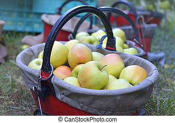 Organic apples in basket in summer grass