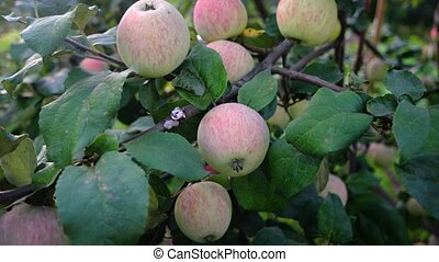 Organic Apples on a Tree in a Private Orchard. 1080p DCI...