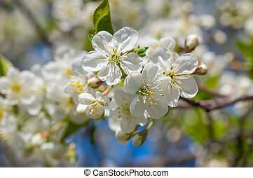 Organic blossom cherry in spring orchard at sunny day