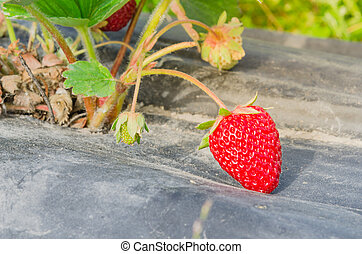 Organic bright red strawberries on black plastic mulch ready to harvest in Washington, US