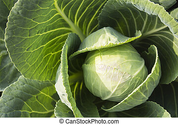 Fresh Green Head of Cabbage in the garden