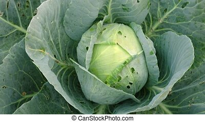 Organic Cabbage Growing on a Small Farm. 1080p DCI footage -...