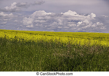 Organic Canola field landscape with clouds in sky