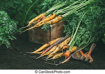 Organic carrots of different varieties in the garden.
