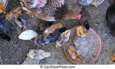 """""""organic chicken farm, domestic chick livestock farming..."""