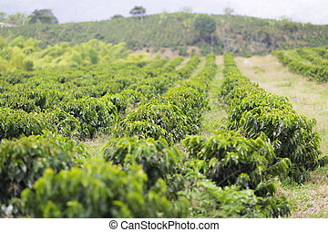Organic Coffee Farm, Coffee Plantation In Beautiful Farm