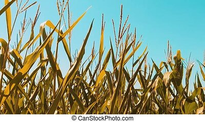 organic corn field dry lifestyle ripe corn the agriculture....