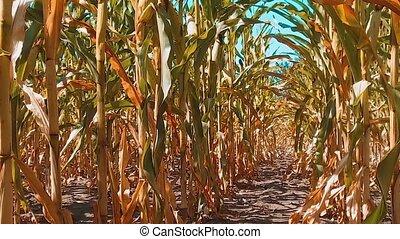 organic corn field dry ripe corn the agriculture. concept...