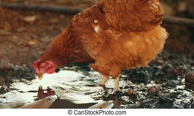 free range chicken searching in mud - Organic farm free...