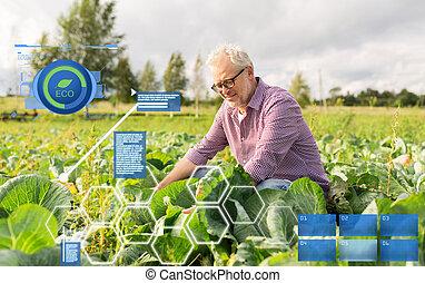 senior man growing white cabbage at farm