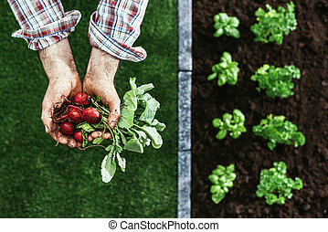Organic farming and gardening - Farmer holding radishes in ...