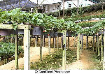 Organic Farming of Strawberries - Image of organic farming ...