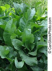 organic food horseradish - horseradish in the garden