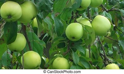 Organic Green Apples on a Tree. Video 1920x1080 - Organic ...