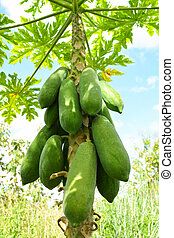 Organic green papaya fruits on tree in the nature garden