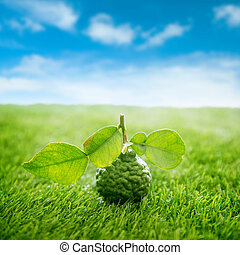 Organic kaffir lime on green lawn with blue sky
