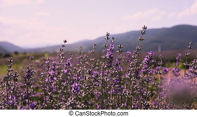 Large farm growing organic lavender. Camera moving from inside the flowers rising over the lavender row. Slow motion blooming lavender
