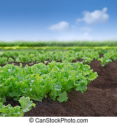 Organic lettuce garden - Fresh green organic lettuce in...