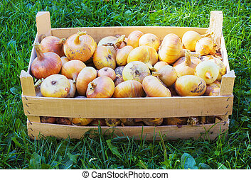 Organic onions in a box close-up