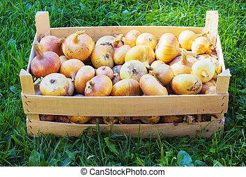 Organic onions in a box close-up