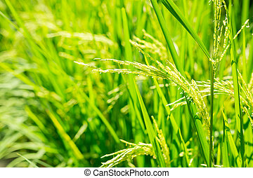 Organic paddy rice, Ear of paddy, ears of Thai rice on green background.