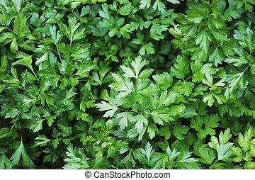 Organic Parsley - Fresh parsley
