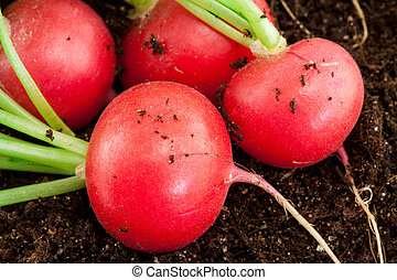 organic radish grows in the ground