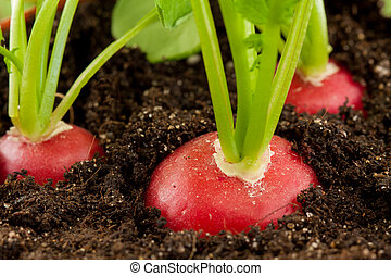 organic radish grows in the ground - organic red radish...