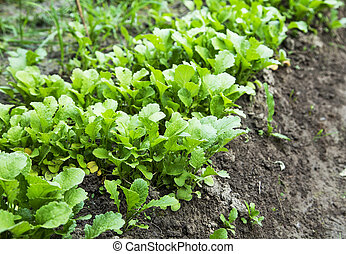 Organic radish rows seedling growing in the vegetable garden