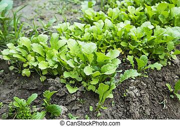 Organic radish seedling growing in the vegetable garden